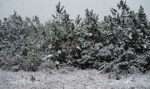Snow falls on a pine forest in Kountze, Thursday. Tammy McKinley/ The Enterprise Photo: TAMMY MCKINLEY / Beaumont