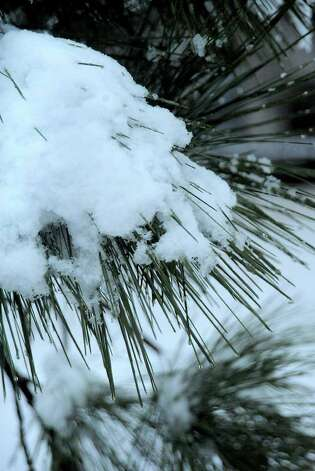 Snow covers a Pine branch in Bevil Oaks, Thursday. Tammy McKinley, The Enterprise Photo: TAMMY MCKINLEY