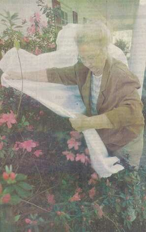 """Betty Drake covers her azaleas with a sheet after stringing Christmas lights in them Thursday at her house in Orange. Drake was trying to protect the blooms from the cold predicted by forecasters."" File photo March, 8, 1996"