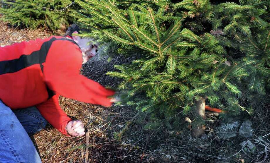 Chris Gibson of Newtown saws down his Christmas Tree Sunday at Paproski's Tree Farm in Newtown, Dec. 5, 2010. Photo: Carol Kaliff / The News-Times