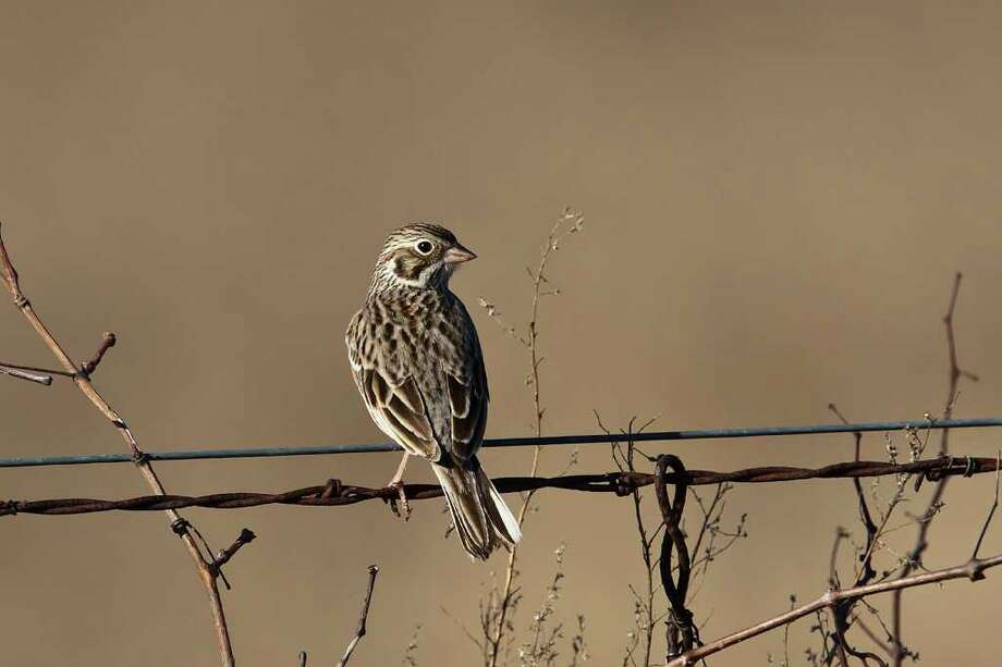 Christmas Bird Counts document the occurance of resident birds as well as winter visitors, like this Vesper Sparrow.  Photo Credit:  Kathy Adams Clark.  Restricted use. Photo: Kathy Adams Clark / KAC Productions