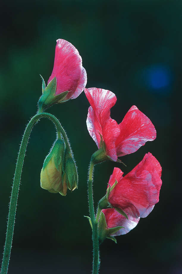 archiveplease Sweet Pea Rosy Dawn Photo from National Garden Bureau. Photo: National Garden Bureau