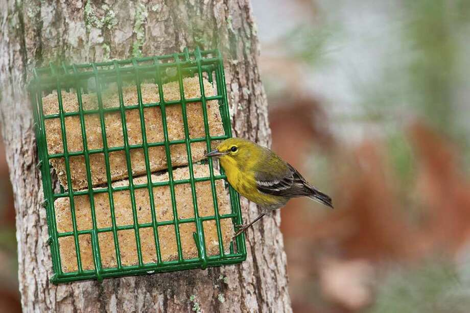 Suet provides much needed fat and protein for winter backyard birds like this pine warbler.  Photo Credit:  Kathy Adams Clark.  Restricted use. Photo: Kathy Adams Clark / KAC Productions