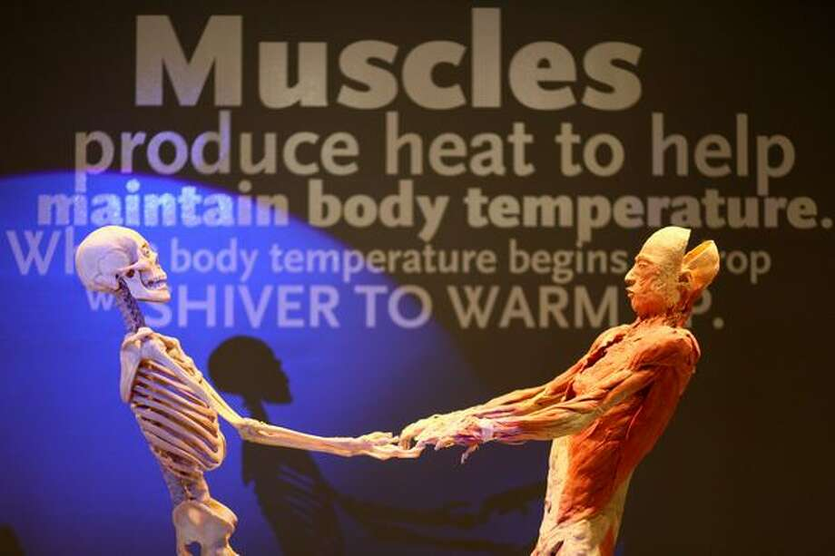 "Muscles and the skeleton are shown in ""Bodies...The Exhibition"" during a media preview on Thursday in downtown Seattle. Photo: Joshua Trujillo/seattlepi.com"
