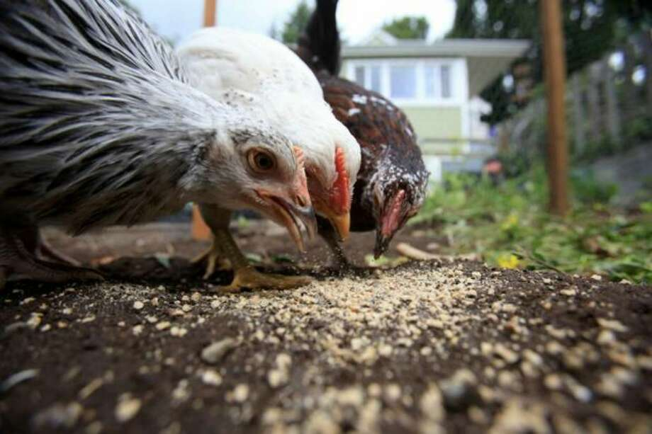 Chickens devour food in their pen at a home in north Seattle. Photo: Joshua Trujillo/seattlepi.com