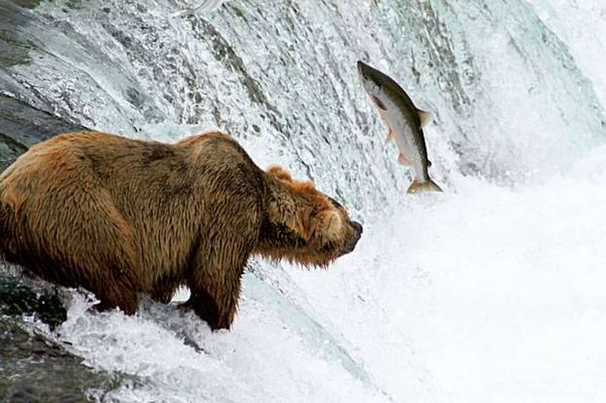 A grizzly bear fishes for salmon at Brooks Falls in Katmai National Park and Preserve in Alaska, home to some of the largest bears in North America.