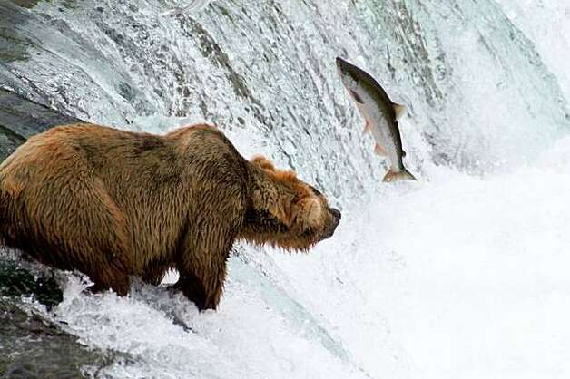 A grizzly bear fishes for salmon at Brooks Falls in Katmai National Park and Preserve in Alaska. Photo: / PBS