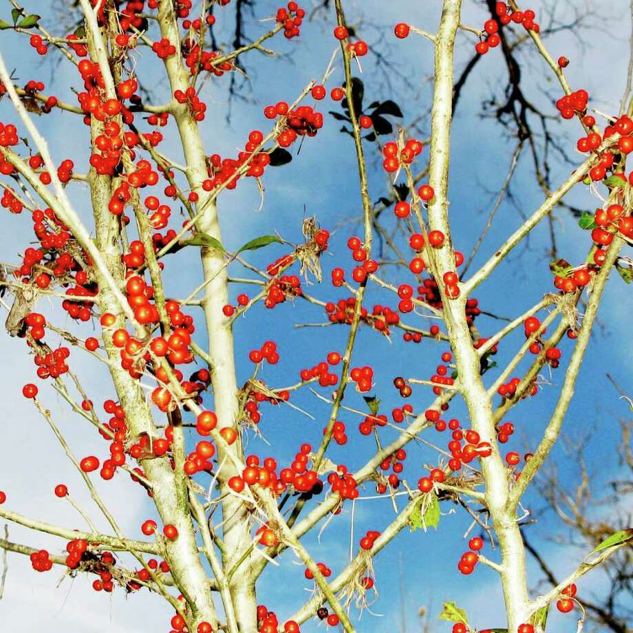 Bright red berries of possumhaws add sprays of Christmas color to the winter landscape.  Photograph by Forest M. Mims III. Photo: FORREST M MIMS 111