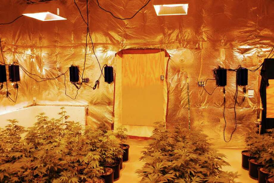 Police say a New York man was running a marijuana growhouse at a Larovera Terrace home. Police and Drug Enforcement agents served a warrant at his Ansonia residence Thursday and found in the basement 261 marijuana plants in various stages of growth, police say. Photo: ST / Ansonia police