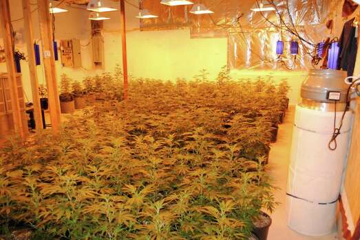 Police say a New York man was running a marijuana growhouse at a Larovera Terrace home. Police and Drug Enforcement agents served a warrant at his Ansonia residence Thursday and found in the basement 261 marijuana plants in various stages of growth, police say. Photo: Ansonia Police / Ansonia police