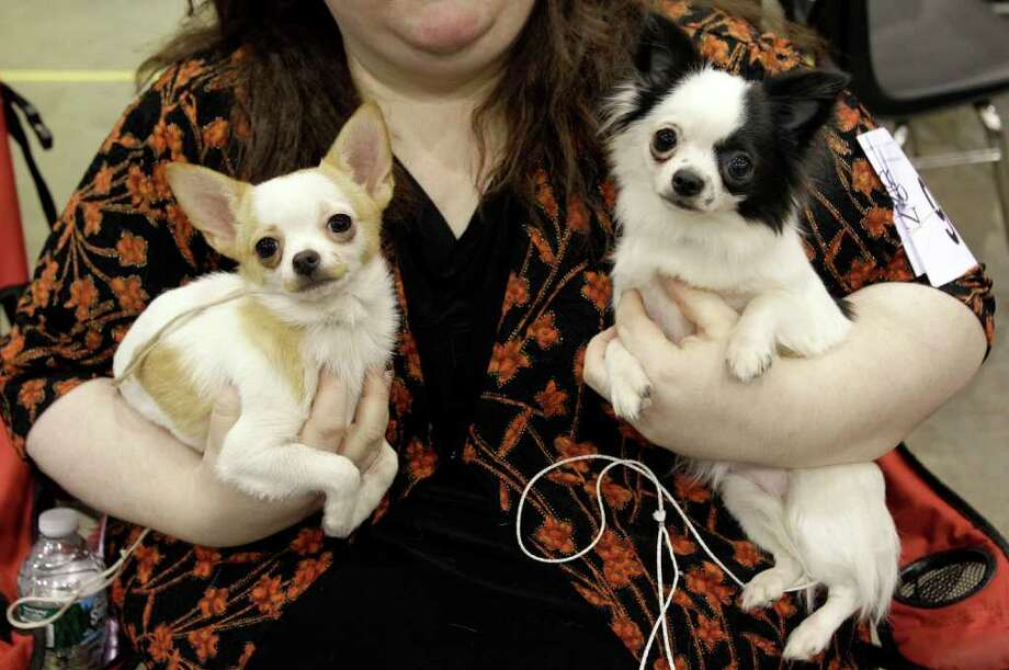 Owner Jenny Campbell holds her two young Chihuahuas, Rosie, left, and Mira, before they compete at the 2010 Crown Classic Dog Show in Cleveland, on Thursday, Dec. 16, 2010.  The four-day show averages 3,000 dogs daily competing in conformation, agility, obedience and rally obedience. (AP Photo/Amy Sancetta) Photo: Amy Sancetta