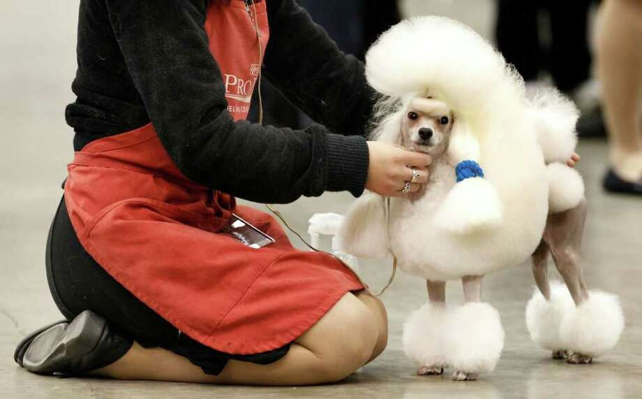 Toy poodle Ch. Smash J.P. Moonwalk stands with his handler Kazi Hosaka before competing at the 2010 Crown Classic Dog Show in Cleveland, on Thursday, Dec. 16, 2010.  The four-day show averages 3,000 dogs daily, competing in conformation, agility, obedience and rally obedience. (AP Photo/Amy Sancetta) Photo: Amy Sancetta