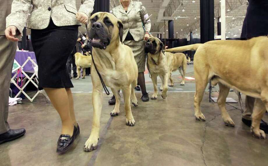 English mastiffs leave the show ring after competing in their class conformation at the 2010 Crown Classic Dog Show in Cleveland, on Thursday, Dec. 16, 2010.  The four-day show averages 3,000 dogs daily competing in conformation, agility, obedience and rally obedience. (AP Photo/Amy Sancetta) Photo: Amy Sancetta
