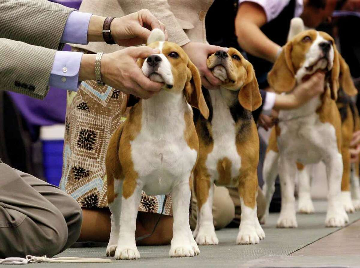 Handlers position their 15-inch beagles during judging at the 2010 Crown Classic Dog Show in Cleveland, on Thursday, Dec. 16, 2010. The four-day show averages 3,000 dogs daily competing in conformation, agility, obedience and rally obedience. (AP Photo/Amy Sancetta)