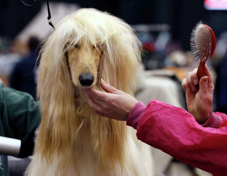 Breeder/handler Jan Plank, of Weedsport, N.Y., grooms her Afghan hound Marquis Kaftan Le Sage at the 2010 Crown Classic Dog Show in Cleveland, on Thursday, Dec. 16, 2010.  The four-day show averages 3,000 dogs daily competing in conformation, agility, obedience and rally obedience. (AP Photo/Amy Sancetta) Photo: Amy Sancetta