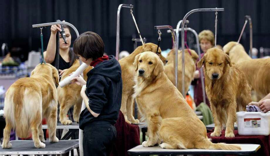 A gang of golden retrievers sit and stand on grooming tables in preparation for conformation competition at the 2010 Crown Classic Dog Show in Cleveland, on Thursday, Dec. 16, 2010.  The four-day show averages 3,000 dogs daily, competing in conformation, agility, obedience and rally obedience. (AP Photo/Amy Sancetta) Photo: Amy Sancetta