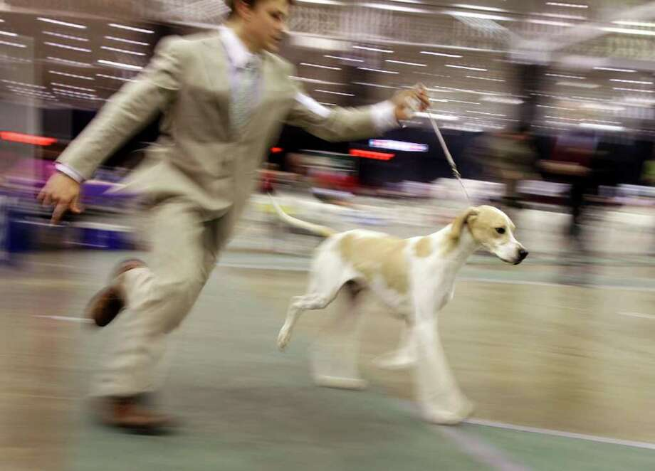 Handler Jonathon Greig, of Willoughby, Ohio, runs Pointer Misty Valleys Colby Jack around the show ring at the 2010 Crown Classic Dog Show in Cleveland, on Thursday, Dec. 16, 2010.  The four-day show averages 3,000 dogs daily, competing in conformation, agility, obedience and rally obedience. (AP Photo/Amy Sancetta) Photo: Amy Sancetta