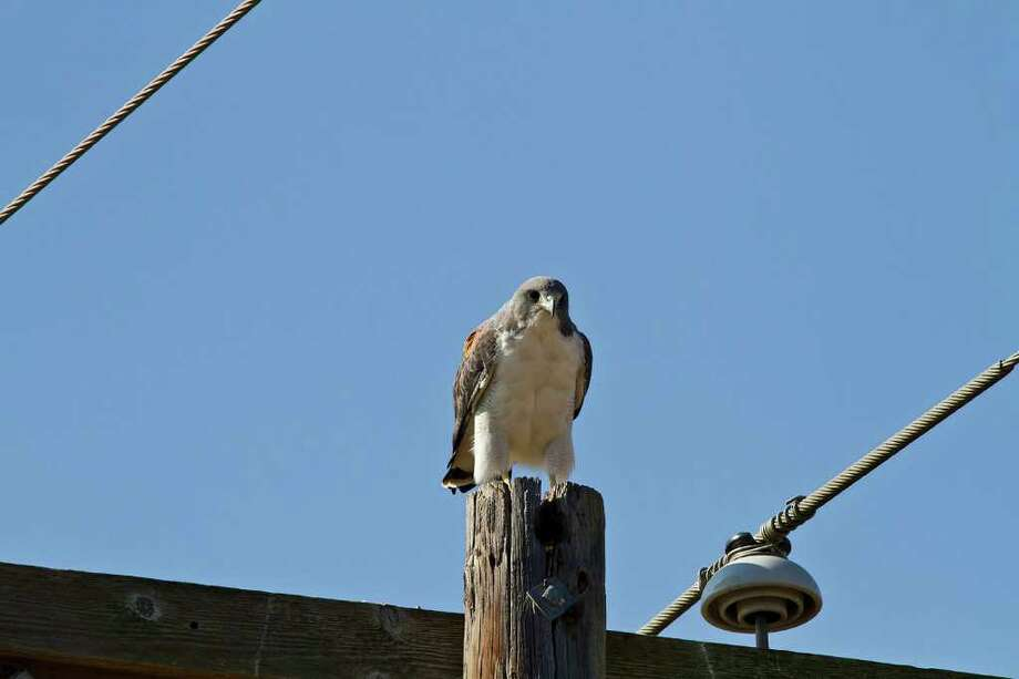 The stately white-tailed hawk perches over the wide-open spaces of South Texas.  Photo Credit:  Kathy Adams Clark.  Restricted use. Photo: Kathy Adams Clark / KAC Productions