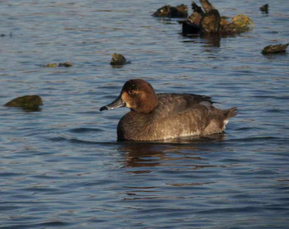 This female Redhead duck in Ash Creek was among the water fowl spotted by teams participating in the annual Audubon Christmas Bird Count. Photo: Contributed Photo/Alex Burdo / Westport News contributed