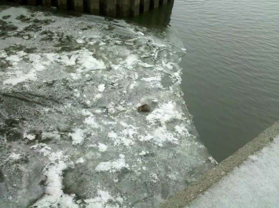 In the center of this photograph, a gray fox is stranded on a thin layer of ice underneath the Dunn Memorial Bridge on Thursday, Dec. 23, 2010. Firefighters are looking for a boat to rescue the animal. (Jordan Carleo-Evangelist / Times Union)