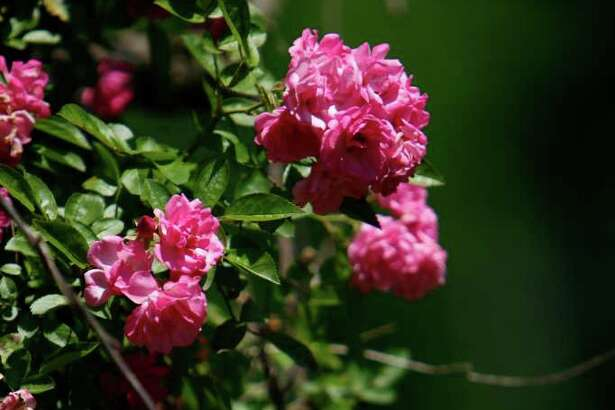 Old roses are among gardeners? favorite passalong plants. The ?Peggy Martin? rose, named for Louisiana gardener Peggy Martin, became a symbol of resurrection after Hurricane Katrina. Martin lost her parents and home in the storm, but the rose survived. Nick de la Torre / Chronicle )