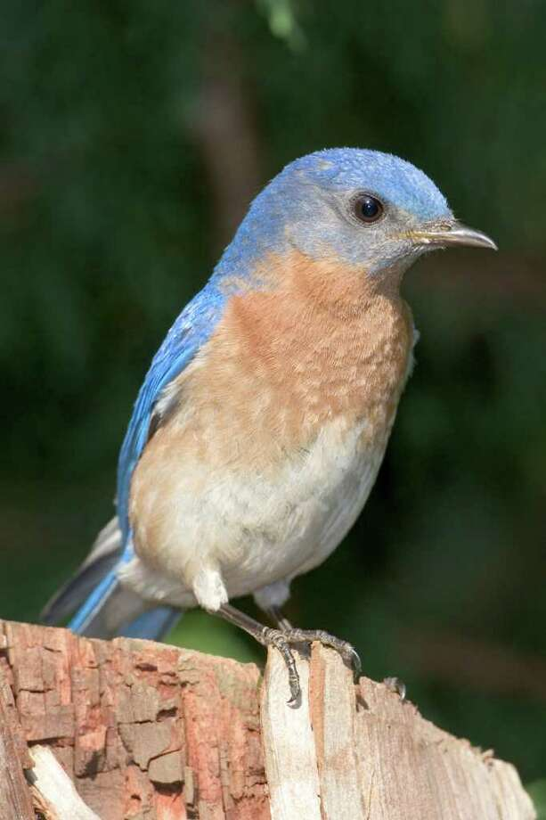 Eastern bluebirds were saved from population decline by humans installing nest boxes.  Photo Credit: Kathy Adams Clark.  Restricted use. Photo: Kathy Adams Clark / Kathy Adams Clark/KAC Production