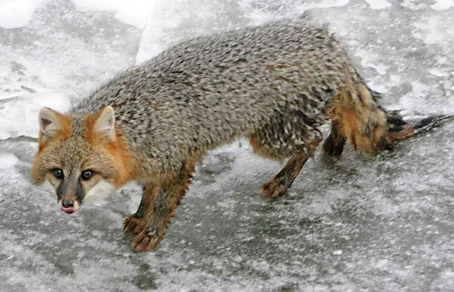 A male gray fox is stranded on  thin ice on the Hudson River waiting to be rescued under the  Dunn Memorial Bridge in Albany on December 23, 2010.  (Lori Van Buren / Times Union) Photo: Lori Van Buren
