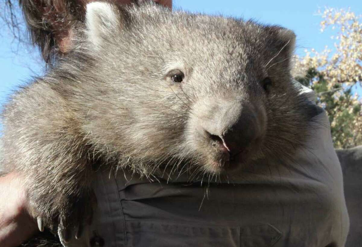Androo Kelly of the Trowunna Wildlife Park in Australia holds Otto, a Tasmanian wombat, before the animal is released into a new zoo exhibit in Albuquerque, N.M., on Thursday, Dec. 9, 2010. The Albuquerque BioPark is now home to the only Tasmanian wombats in North America. Otto and two other adult wombats arrived at the zoo in December.