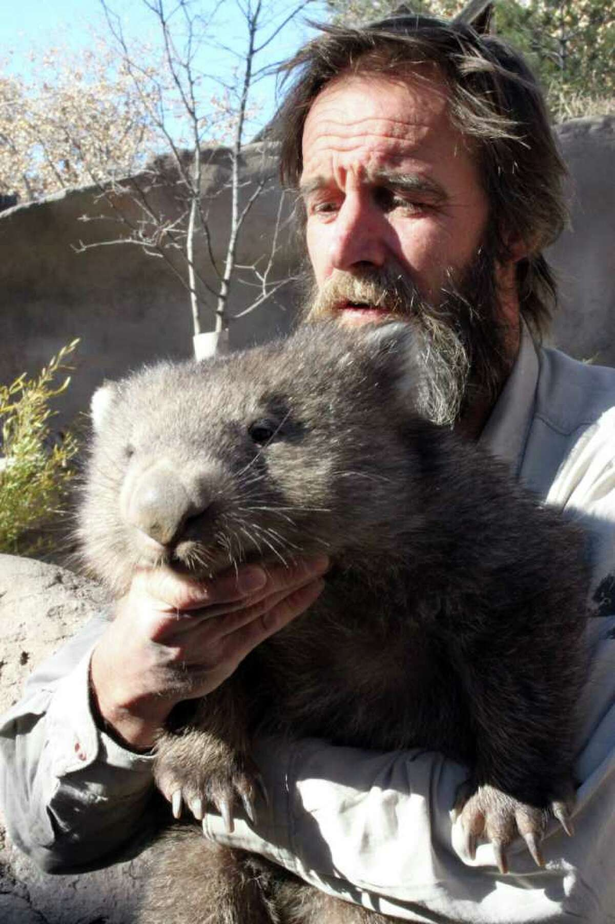 Androo Kelly of the Trowunna Wildlife Park in Australia holds Otto, a Tasmanian wombat, at the Albuquerque BioPark Zoo's newest exhibit in Albuquerque, N.M., on Thursday, Dec. 9, 2010. There are about a half-dozen other species of wombats in zoos around the country, but Otto and the two adult wombats that arrived in Albuquerque last week are the only Tasmanian wombats in North America.