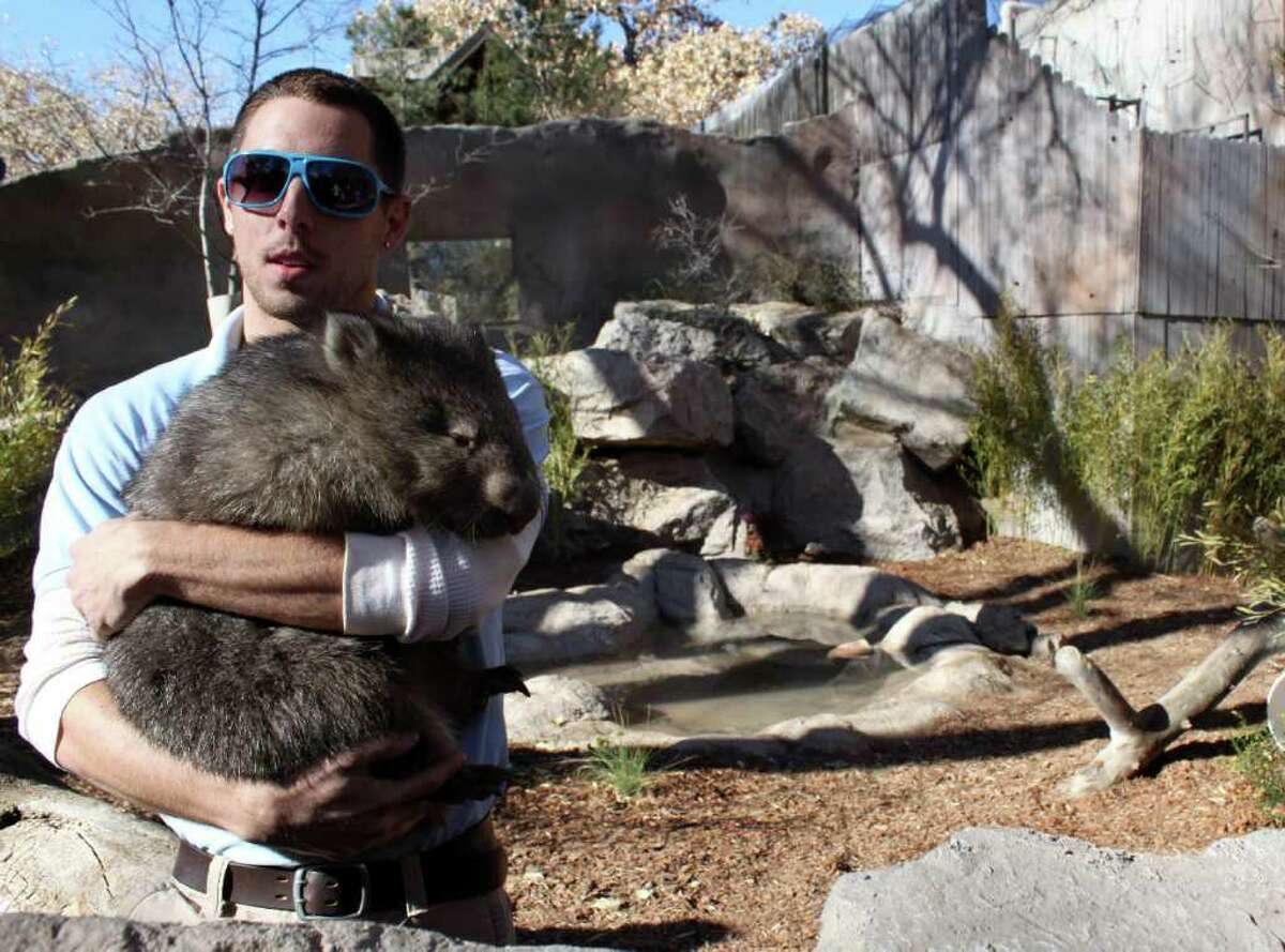 Albuquerque BioPark Zoo employee Bricker Thietten gets ready to release Otto, a Tasmanian wombat, into the zoo's newest exhibit in Albuquerque, N.M., on Thursday, Dec. 9, 2010. Zoo officials said it has taken several years of planning and about $60,000 in funds raised by the BioPark Society to acquire the three orphaned wombats.