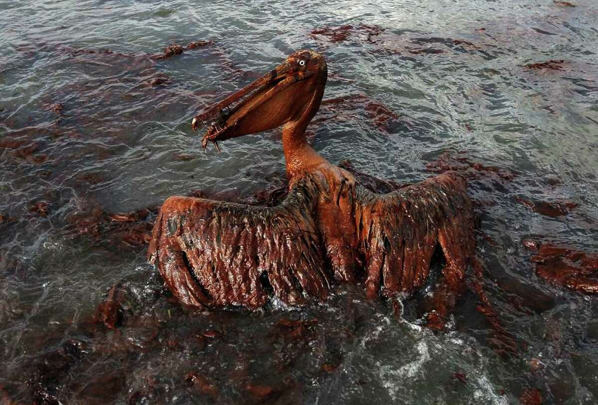 EAST GRAND TERRE ISLAND, LA - JUNE 04: A brown pelican coated in heavy oil wallows in the surf June 4, 2010 on East Grand Terre Island, Louisiana. Oil from the Deepwater Horizon incident is coming ashore in large volumes across southern Louisiana coastal areas. (Photo by Win McNamee/Getty Images)