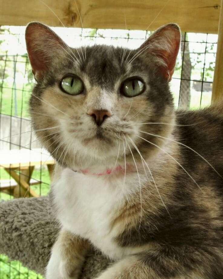 Dinah, a friendly 5-year-old cat, is available for adoption. Photo: Animal Defense League Of Texas/Courtesy Photo