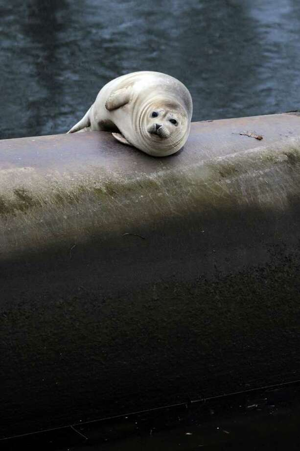 A seal rests on an old cement drain pipe in the Pequonnock River, near River St. in Bridgeport, Conn. Feb. 3rd, 2010. George Zwally, from nearby Zwally's Hauling, said the seal spent most of Wednesday afternoon on the pipe, and that it finally swam away after the sun went down. Dave Sigworth, spokesman from The Maritime Aquarium in Norwalk, said that seals are common in the waters of Long Island Sound between December and April, and it is not unusual for them to venture up inland waterways, like the Pequonnock, in pursuit of fish. Sigworth also noted that seals are federally protected animals, and that if one is spotted in the wild, it should not be approached or fed. Photo: Ned Gerard / Connecticut Post