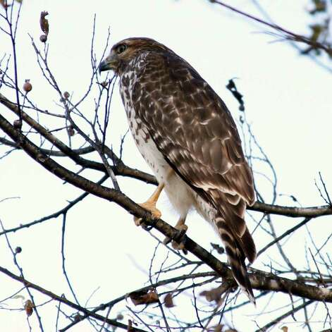 This hawk was photographed while scanning a field for mice. Photograph by Forrest M. Mims III. Photo: FORREST M MIMS 111