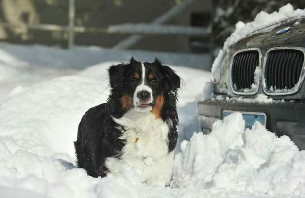 Jack, a Miniature Australian Shepherd, plays in the freshly fallen snow in Stamford, Conn. on Wednesday January 12, 2011. Photo: Kathleen O'Rourke, Stamford Advocate / Stamford Advocate