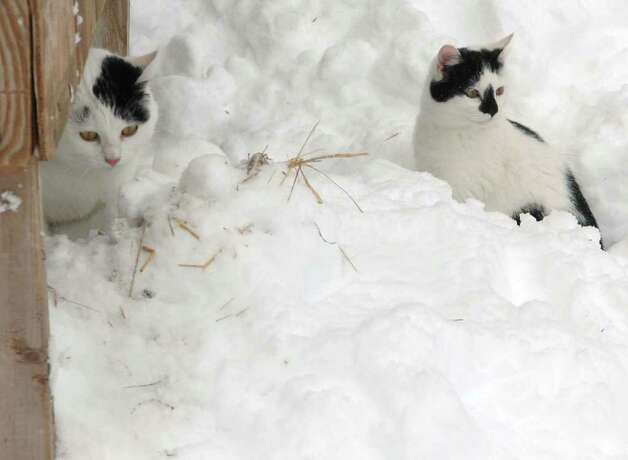 These two cats do not seem to mind the snow at Pansy Road Farm in Fairfield, Conn. on Wednesday Jan. 12, 2011. Photo: Cathy Zuraw / Connecticut Post