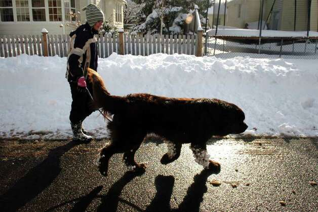 Jenny Bliska walks Linus along Allyndale Drive in Stratford, Conn. Wednesday, Jan. 12th, 2011. Photo: Ned Gerard / Connecticut Post