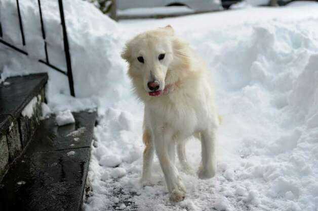 Puppy Lacey jumps in the snow in Norwalk on Wednesday, January 12, 2011. Photo: Lindsay Niegelberg / Connecticut Post