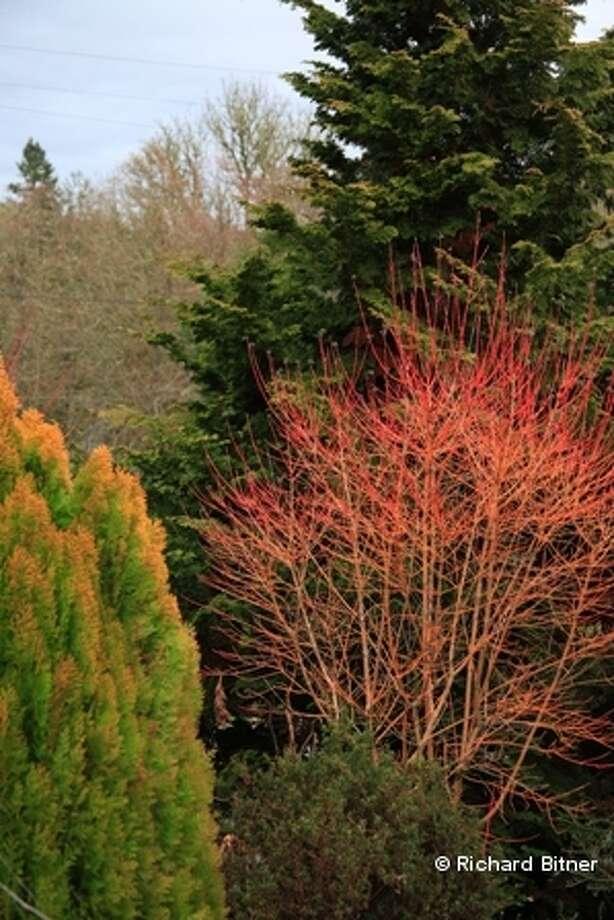 2011 Gold Medal Plant Award winner Bloodtwig Dogwood, aka cornus sanquinea (Courtesy Pennsylvania Horticultural Society)