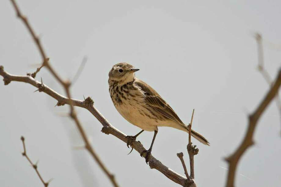 The American pipit might look lke a sparrow but it acts differently.  They are a common winter bird in Texas.  Photo Credit:  Kathy Adams Clark.  Restricted use. Photo: Kathy Adams Clark / KAC Productions