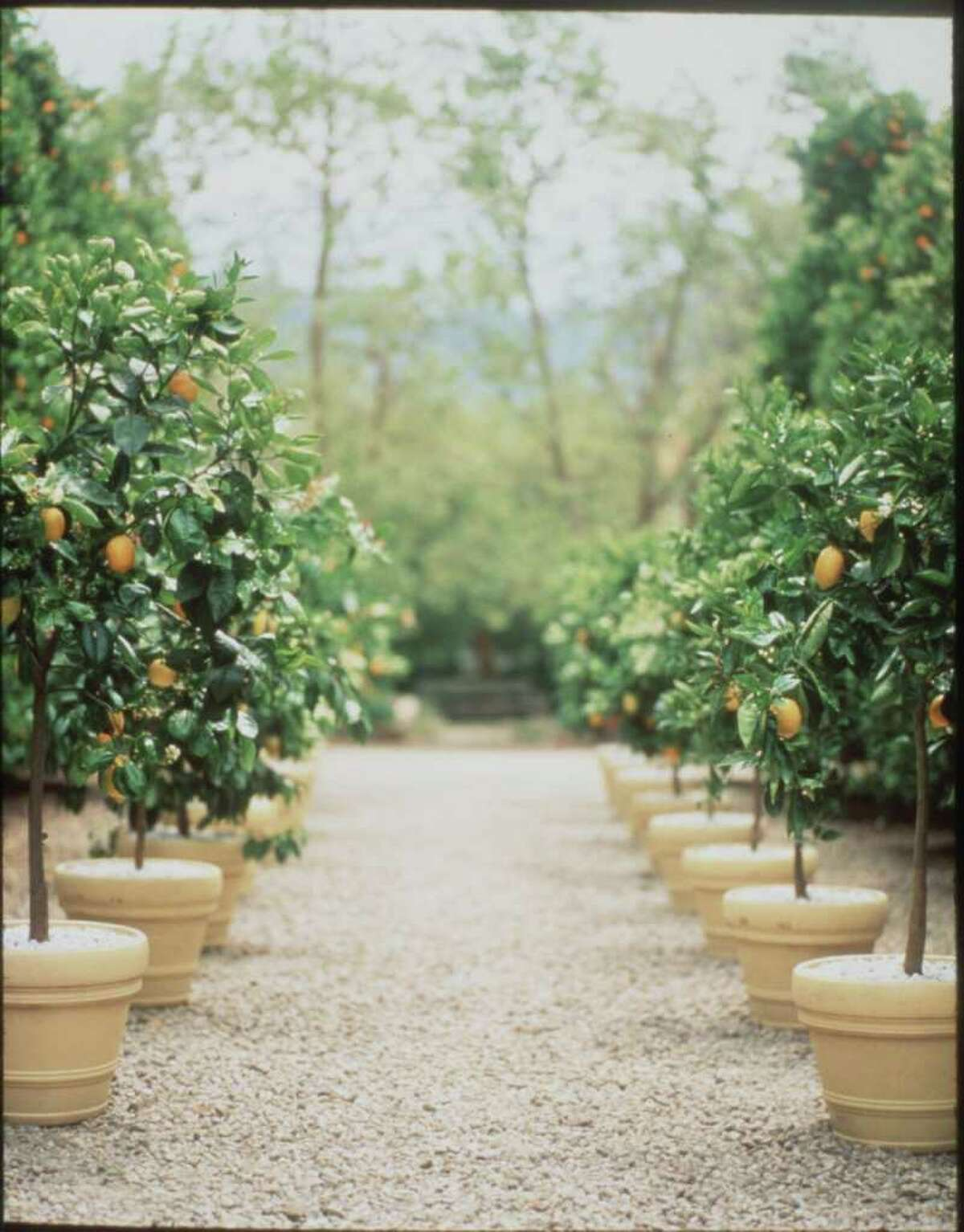 Compact citrus varieties such as 'Meyer' lemons, pictured, limes, satsumas and mandarins are especially suited to container growing. Martha Stewart photo credit.