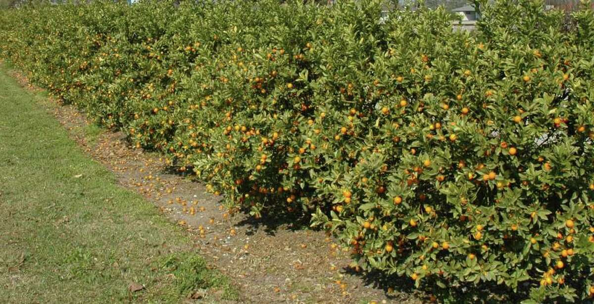 Hardy citrus such as kumquats create a dense, productive hedge. Heidi Sheesley photo