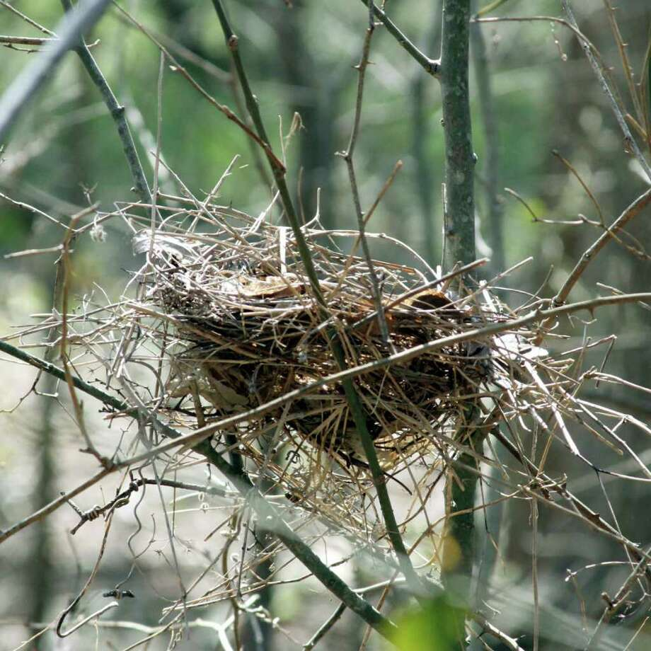 Bird nests are easy to find and photograph during winter. Photograph by Forrest M. Mims III. Photo: FORREST M MIMS 111