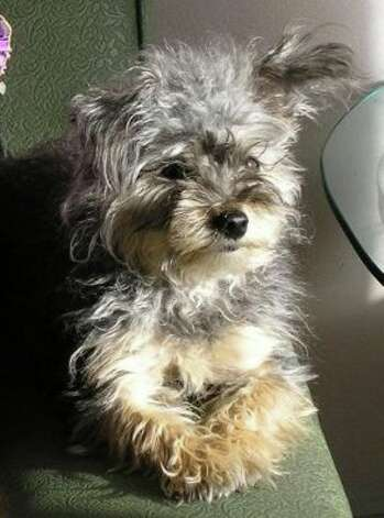 Yorkie Poos - (and Yorkipoo or Yorki Poo) this is a cross between a ...