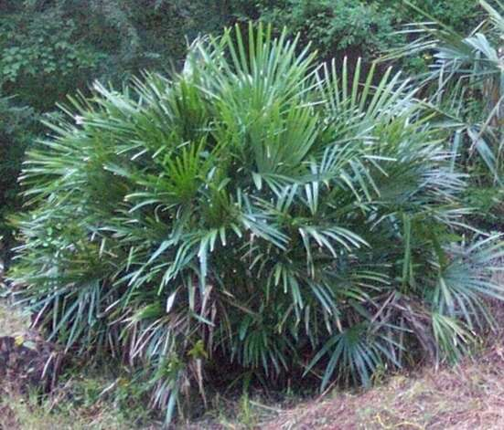 Southeast Texas Guide To Palm Trees Beaumont Enterprise