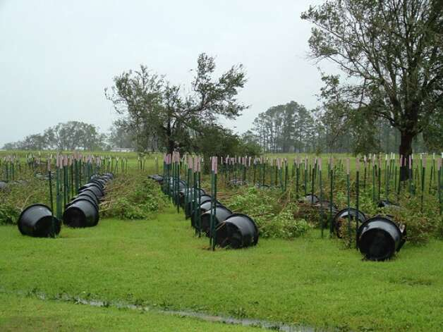 Potted trees were blown over at Al Cook's Nursery along Texas 105. Amy Pearson/Special to Photo: THE ENTERPRISE