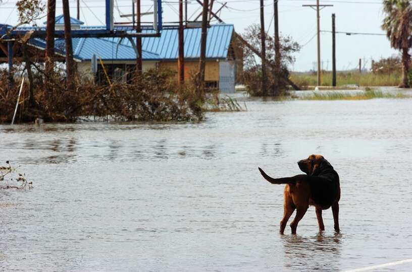 Cletus roams around Sabine Pass while his owner Nathan Richardson talks with other residents of the