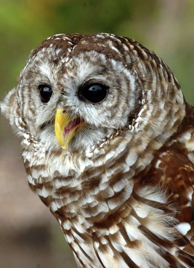 Maxine, the resident Barred Owl at Shangri La Botanical Gardens, died Dec. 1, 2016, at the age of 14. Photo: THE ENTERPRISE