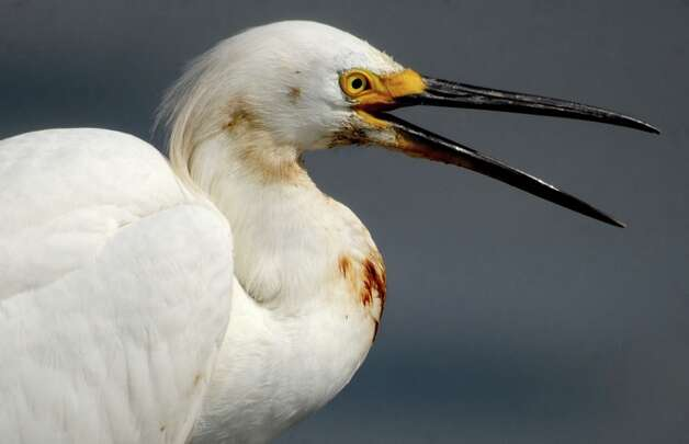 A Snowy Egret is stained with oil at Bridge Side Marina in Grand Isle, LA, Tuesday. Photo: TAMMY MCKINLEY