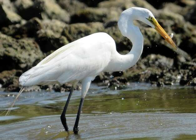 A Great Egret eats a fish on Sabine Pass, Sunday. P